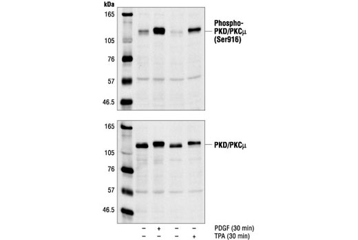 Polyclonal Antibody Sphingolipid Metabolic Process