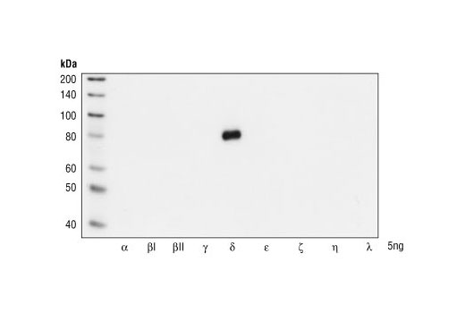 Western blot analysis of Baculovirus expressed PKC isoforms, demonstrating the isoform-specificity of PKCδ Antibody.