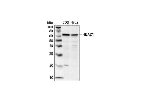 Western blot analysis of COS or HeLa cell lysates using Histone Deacetylase 1 (HDAC1) Antibody.