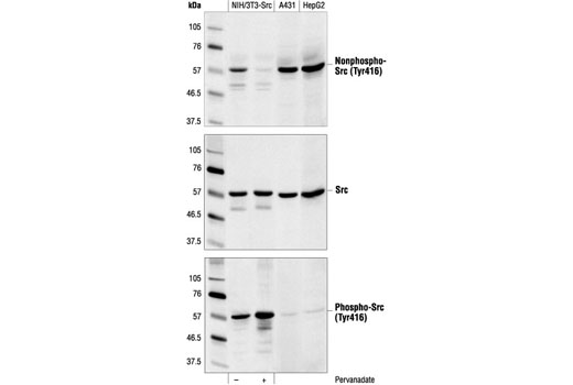 Western blot analysis of extracts from pervanadate-treated (1 mM for 5 minutes) NIH/3T3 cells that have been stably transfected with a constitutively active form of Src (in which the regulatory tyrosine 527 residue has been mutated to phenylalanine), A431 cells and HepG2 cells, using Non-phospho-Src (Tyr416) (7G9 ) Mouse mAb (top), v-Src antibody (middle) or Phospho-Src (Tyr416) Antibody #2101 (bottom).