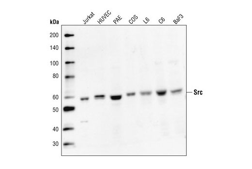 Western blot analysis of extracts from various cell lines using Src Antibody.