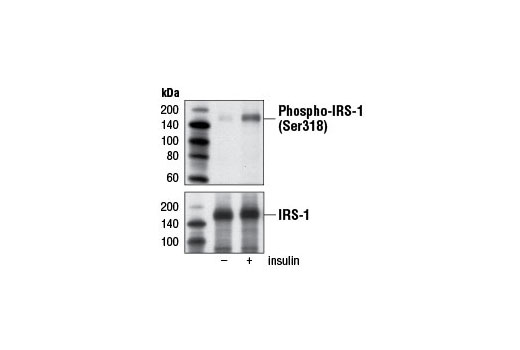 Monoclonal Antibody - Phospho-IRS-1 (Ser318) (D51C3) Rabbit mAb, UniProt ID P35568, Entrez ID 3667 #5610 - #5610