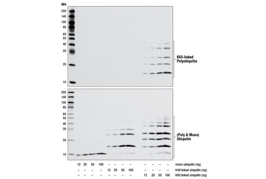 Western blot analysis comparing the titration of recombinant monoubiquitin, K48-linked polyubiquitin and K63-linked polyubiquitin using K63-linkage Specific Polyubiquitin (D7A11) Rabbit mAb (upper) and Ubiquitin Antibody #3933 (lower).