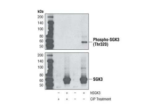Monoclonal Antibody Chloride Channel Regulator Activity