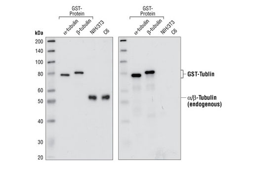 Western blot analysis of recombinant alpha-tubulin and beta-tubulin GST-fusion proteins, and extracts from NIH/3T3 and C6 cells, using α/β-Tubulin Antibody (left) and GST Antibody #2622 (right).