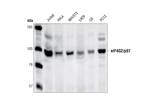 Polyclonal Antibody - eIF4G2/p97 Antibody - Western Blotting, UniProt ID P78344, Entrez ID 1982 #2182, Eif4g2