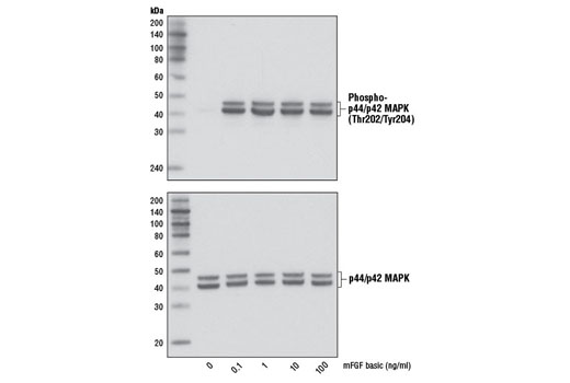 Western blot analysis of extracts from NIH/3T3 cells, untreated or treated with mFGF basic for 10 min, using Phospho-p44/42 MAPK (Erk1/2) (Thr202/Tyr204) (D13.14.4E) XP<sup>®</sup> Rabbit mAb #4370 (upper) and p44/42 MAPK (Erk1/2) (137F5) Rabbit mAb #4695 (lower).