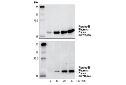 Western blot analysis of extracts from 293 cells, untreated or treated with 20% FBS for the indicated time, using Phospho-S6 Ribosomal Protein (Ser235/236) Antibody #2211 (upper) and Phospho-S6 Ribosomal Protein (Ser240/244) Antibody #2215 (lower).