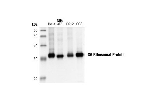 Western blot analysis of extracts from HeLa, NIH/3T3, PC12 and COS cells using S6 Ribosomal Protein (5G10) Rabbit mAb.