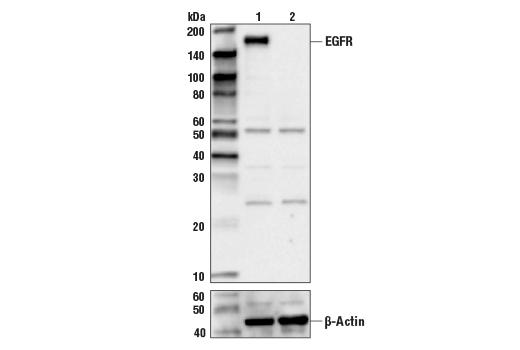 Polyclonal Antibody - EGF Receptor Antibody - Immunoprecipitation, Western Blotting, UniProt ID P00533, Entrez ID 1956 #2232 - #2232