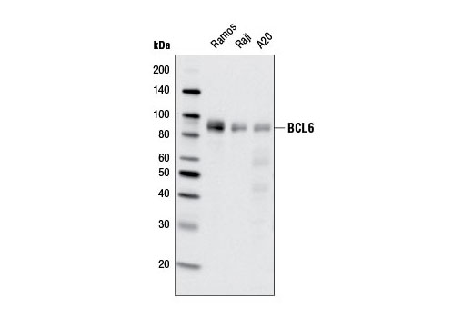 Western blot analysis of extracts from various cell lines using BCL6 (D65C10) Rabbit mAb.