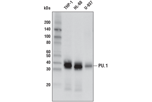 Western blot analysis of extracts from THP-1, HL-60, and U-937 cells using #2266.