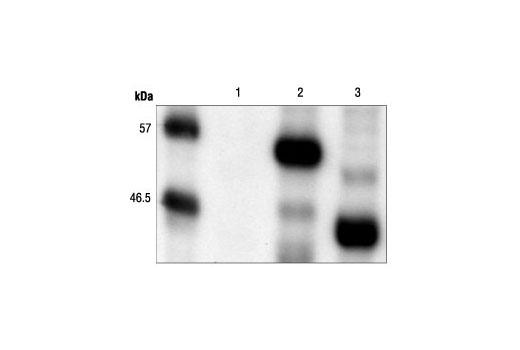 Polyclonal Antibody - Myc-Tag Antibody - 100 µl #2272, Companion Products