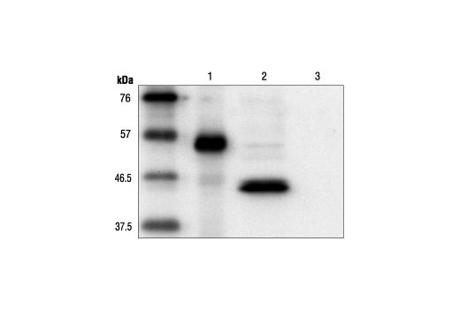 Western blot analysis of cell extracts expressing carboxy-terminal Myc-tagged protein (lane 1), amino-terminal Myc-tagged protein (lane 2) or control cell extracts (lane 3), using Myc-Tag (9B11) Mouse mAb.