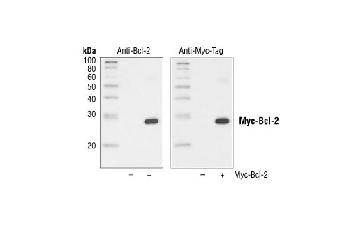 Western blot analysis of extracts from untransfected control cells (-) and transfected cells overexpressing Myc-Bcl-2 (+), using Bcl-2 Antibody #2872 (left) and Myc-Tag (71D10) Rabbit mAb (right).
