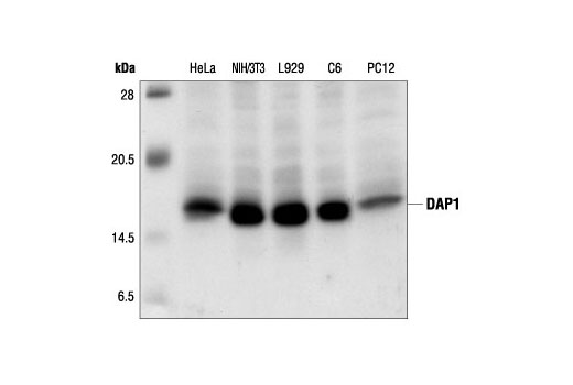 Western blot analysis of extracts from HeLa, NIH/3T3, L929, C6 and PC12 cells, using DAP1 Antibody.