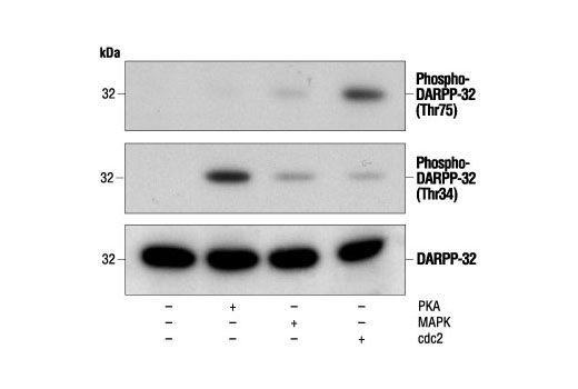 Polyclonal Antibody Negative Regulation of Female Receptivity