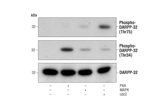 Mouse Protein Phosphatase Inhibitor Activity