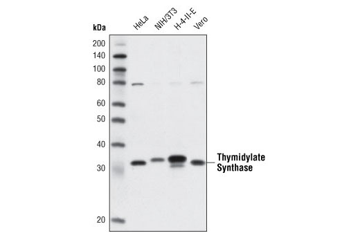 Western blot analysis of extracts from various cell lines using Thymidylate Synthase (TS106) Mouse mAb.