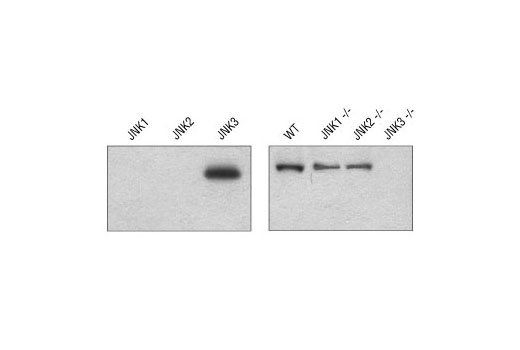 Western blot analysis of recombinant His-tagged JNK kinases (left), or brain lysates from wild type (WT) and specific JNK knockout (-/-) mice (right), using JNK3 (55A8) Rabbit mAb (Image provided by Drs Gerardo Morfini, YiMei You and Scott Brady, University of Illinois at Chicago).