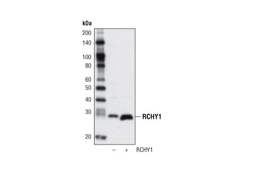 Western blot analysis of extracts from 293T cells, either mock transfected or transfected with a construct overexpressing murine RCHY1, using RCHY1 Antibody.