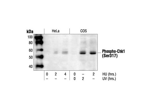 Mink Dna Damage Induced Protein Phosphorylation