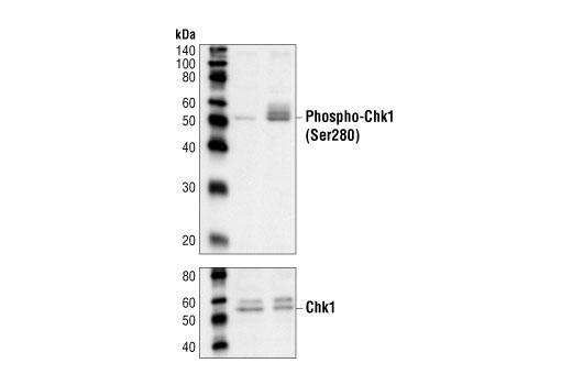 Polyclonal Antibody - Phospho-Chk1 (Ser280) Antibody - Western Blotting, UniProt ID O14757, Entrez ID 1111 #2347 - Primary Antibodies