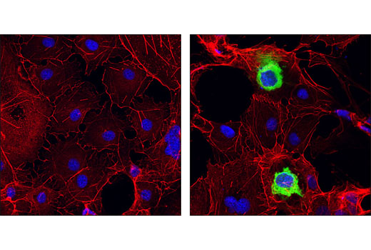 Confocal immunofluorescent analysis of COS cells, mock-transfected (left) or transfected with HA-tagged protein (right), using HA-Tag (6E2) Mouse mAb (Alexa Fluor® 488 Conjugate) #2350. Actin filaments have been labeled with DY-554 phalloidin (red). Blue pseudocolor = DRAQ5™ (fluorescent DNA dye).