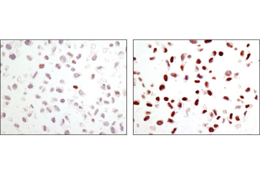 Immunohistochemical analysis of paraffin-embedded NIH/3T3 cell pellets, control (left) or anisomycin-treated (right), using Phospho-c-Jun (Ser63) (54B3) Rabbit mAb.