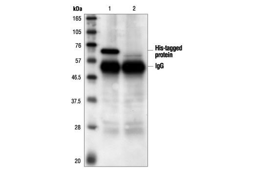 Polyclonal Antibody - His-Tag Antibody - Immunoprecipitation, Western Blotting #2365, Companion Products