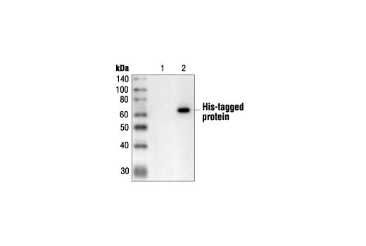 Western blot analysis of extracts from control (lane 1) or cells expressing C-terminal His-tagged protein (lane 2), using His-Tag (27E8) Mouse mAb.