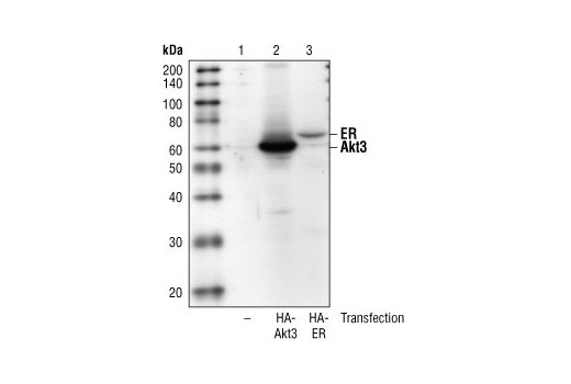Western blot analysis of extracts from COS cells, untransfected (lane 1) or expressing HA-tagged Akt3 (lane 2) or HA-tagged Estrogen Receptor (ER) (lane 3), using HA-Tag (6E2) Mouse mAb.