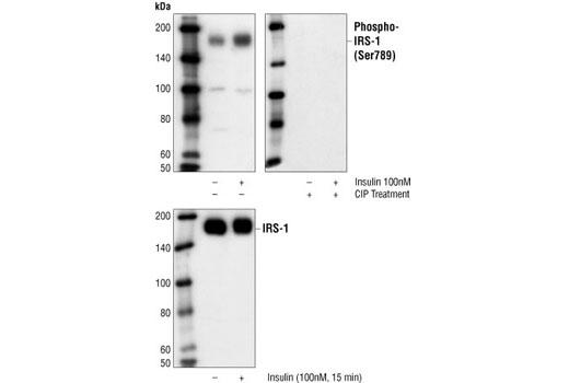 Polyclonal Antibody - Phospho-IRS-1 (Ser789) Antibody - Western Blotting, UniProt ID P35568, Entrez ID 3667 #2389 - #2389
