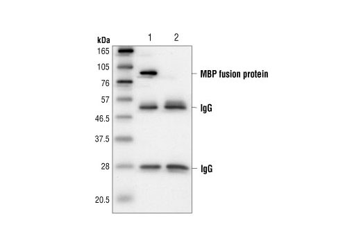 Monoclonal Antibody - MBP Tag (8G1) Mouse mAb - 100 µl #2396, Companion Products