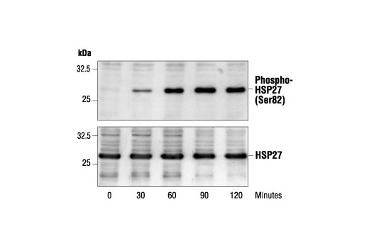 Western blot analysis of extracts from HeLa cells, using Phospho-HSP27 (Ser82) Antibody (upper) or control HSP27 antibody (lower). HeLa cells were incubated at 42ºC for 0-2 hours as indicated.