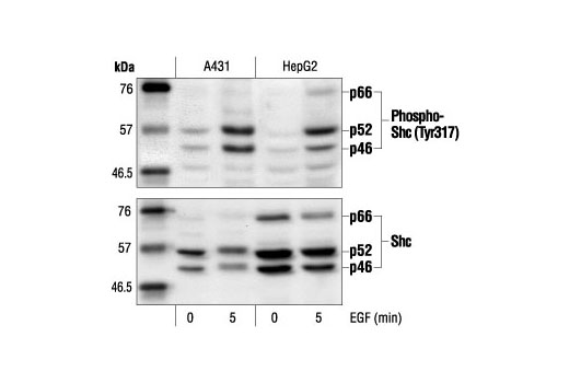 Polyclonal Antibody - Phospho-Shc (Tyr317) Antibody - Western Blotting, UniProt ID P29353, Entrez ID 6464 #2431 - Map Kinase Signaling
