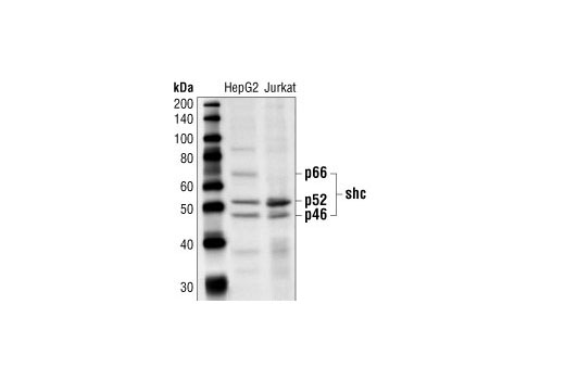 Western blot analysis of extracts from HepG2 and Jurkat cells, using Shc Antibody.