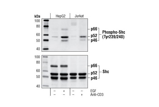 Western blot analysis of extracts from HepG2 cells, untreated or EGF-treated (100 ng/ml) 18 hours of serum-starvation, and Jurkat cells, untreated or treated with anti-CD3 antibody (1 µg/ml for 10 minutes), using Phospho-Shc (Tyr239/240) Antibody (upper) or Shc antibody #2432 (lower).