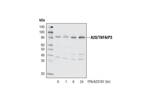 Western blot analysis of extracts from Jurkat cells, untreated or treated with TPA #4174 (40 nM) and A23187 (2 μM) for various amounts of time, using A20/TNFAIP3 (D13H3) Rabbit mAb.