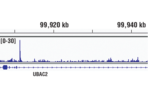 Chromatin immunoprecipitations were performed with cross-linked chromatin from THP-1 and IRF-8 (D20D8) Rabbit mAb, using SimpleChIP<sup>®</sup> Plus Enzymatic Chromatin IP Kit (Magnetic Beads) #9005. DNA Libraries were prepared using SimpleChIP<sup>®</sup> ChIP-seq DNA Library Prep Kit for Illumina<sup>®</sup> #56795. The figure shows binding across GPR18/UBAC2, a known target gene of IRF8 (see additional figure containing ChIP-qPCR data). For additional ChIP-seq tracks, please download the product data sheet.