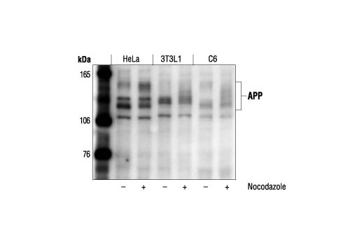 Western blot analysis of extracts from HeLa (human), 3T3L1 (mouse) or C6 (rat) cells, untreated or nocodazole-treated (1 µg/ml, 16-18 hours), using APP Antibody.