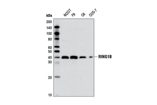Image 44: Polycomb Group Antibody Sampler Kit