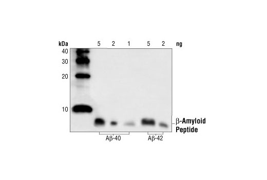 Western blot analysis of human A-beta-40 and A-beta-42 peptides (1-5 ng), using beta-Amyloid Antibody.