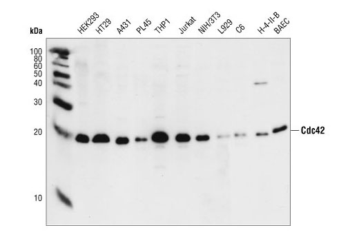 Western blot analysis of HEK293, HT29, A431, PL45, THP1, Jurkat, NIH/3T3, L929, C6, H-4-II-B and BAEC cells, using Cdc42 Antibody.