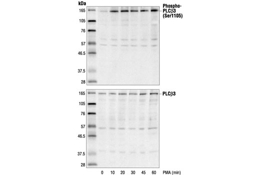 Polyclonal Antibody Western Blotting Phosphoinositide Phospholipase c Activity - count 17