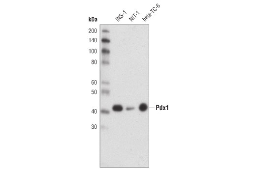 Western blot analysis of extracts from INS-1, NIT-1 and beta-TC-6 cells using Pdx1 (D59H3) XP<sup>®</sup> Rabbit mAb.