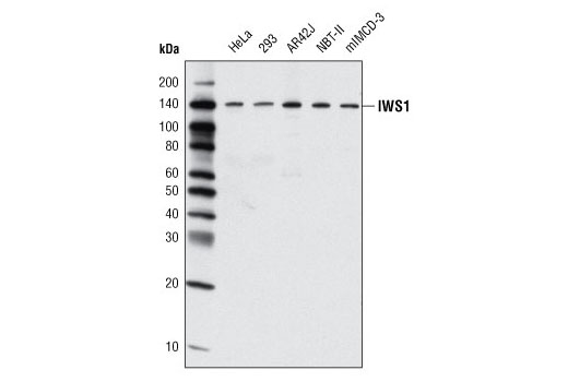 Western blot analysis of extracts from various cell lines using IWS1 Antibody.