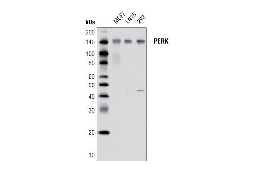 Monoclonal Antibody - PERK (D11A8) Rabbit mAb, UniProt ID Q9NZJ5, Entrez ID 9451 #5683 - Protein Folding and Trafficking