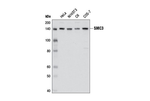 Western blot analysis of extracts from various cell lines using SMC3 (D47B5) Rabbit mAb.