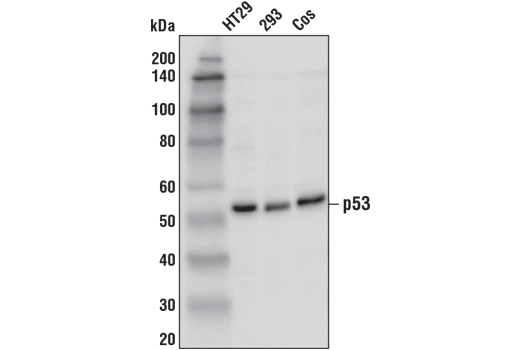 Western blot analysis of cellular extracts using p53 (1C12) Mouse mAb.